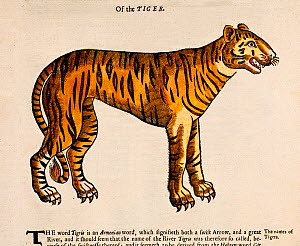 Illustration 'Of the Tiger' (Panthera tigris) a 1607 engraving with later tinting from Edward Topsell's 'History of four Footed Beasts'. Topsell produced one of the first printed English Bestiaries, c...  -  Paul D Stewart
