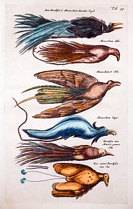 Illustrations of Birds of Paradise (Paradisaea spp), woodcut from Merian and Jonston's 'Historia Naturalis' 1660 (which continued to be printed up to 1767). Shows a range of species including the blue...  -  Paul D Stewart