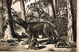 Illustration of a mythical Brazillian animal by Albertus Montanus, 1673. Copperplate from the German edition of his Dutch 'The New World'. A strange creature being pursued by colonials in the jungles...  -  Paul D Stewart