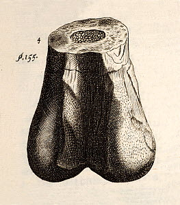 Copper engraving of dinosaur femur, from Robert Plot's 1677 'Natural History of Oxfordshire'. Dug out of a quarry in 'the Parish of Cornwell' in Oxfordshire on the land of (and donated by) Sir Thomas...  -  Paul D Stewart