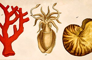 18th Century engraving with contemporary handcolouring showing coral, squid and a nautilus shell. Such exotic objects were emblematic of any good cabinet of curiosities and held particular fascination...  -  Paul D Stewart
