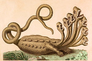 Copperplate engraving of mythical hydra with hand colouring by J. Chapman 1806 after engraving by Seba in his 'Treasury of Natural History' (1734). In 1735 a young Linnaeus visited Hamburg. While ther...  -  Paul D Stewart