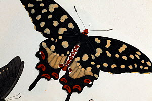 Illustration of Madagascan Pipevine Swallowtail (Pharmacophagus antenor / Batthus philenor, Drury 1773). Strong late 18th Century illustration with contemporary colouring following its discovery. As a...  -  Paul D Stewart