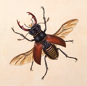 Copperplate engraving of a Stag Beetle (Lucanus cervus), with hand colouring possibly by Donovan himself. While most plates were thinly coloured to tint the interstices of the lines of the engraving b...  -  Paul D Stewart