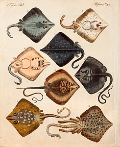Copperplate engraving of rays with contemporary hand colouring from 'Bilderbuch fur Kinder' by F.J. Bertuch, Weimar, 1795. This book set out to explain and illustrate a range of topics for children.  -  Paul D Stewart