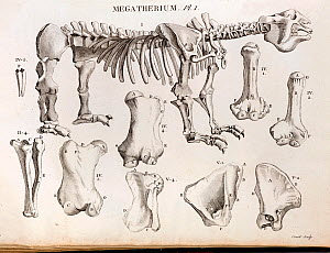 Copperplate illustration of Giant Ground Sloth by Laurilliard, engraving by Couet, (from Bru), Plate 1 in Cuvier's account in 'Annales du Museum National d'Histoire Naturelle' 1804, Vol. 4, No 29. Cuv...  -  Paul D Stewart