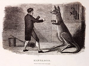1806 'Kangaroo' (Macropus giganteus), a copper engraving of a keeper attempting to box a kangaroo. First image of a boxing kangaroo, now an australian national icon. From Thomas Smith, 'The Naturalist... - Paul D Stewart