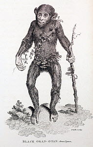 Illustration portrait of a Chimpanzee (Pan troglodytes). 1809 'Black Oran Otan' copper engraving from 'Zoological Lectures Delivered at the Royal Institution'. This is a reprint of Tyson's first figur...  -  Paul D Stewart