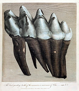Illustration of American Mastodon (Mammut americanum) tooth. 'The back grinding tooth of the mammoth or Mastodon of Ohio, weight 4lb and 11oz, drawn and engraved by Springsguth from life'. Forming the...  -  Paul D Stewart