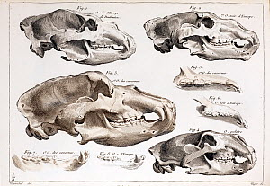 Illustration of bear skulls of living and extinct species, engraving in Cuvier's 'Ossamens Fossiles' (1812). Cuvier, the master of comparative anatomy, referenced modern species with extinct fossils t... - Paul D Stewart