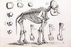 Elephant skeleton engraving in Cuvier's 'Ossamens Fossiles' (1812). Cuvier, the master of comparative anatomy, referenced modern species with extinct fossils to reveal their affinities and differences... - Paul D Stewart
