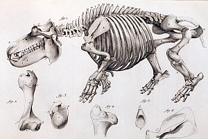 Illustration of skeleton of a hippopotamus, (Hippopotamus amphibius) skelton, copperplate engraving from Cuvier's 'Ossamens Fossiles'. Cuvier saw that the key to understanding fossils was to relate th...  -  Paul D Stewart