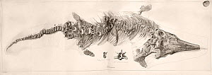 Illustration of Ichthyosaur skeleton, copper fold-out engraving at life size, (2.5cm ammonite top right for scale). It comes from a paper by Sir Everard Home in 1819. He was the first geologist to pub...  -  Paul D Stewart