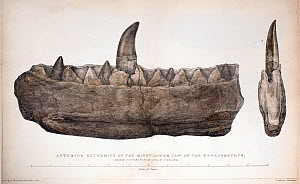 1824 Double quarto Plate XL of Megalosaurus' jaw and teeth drawn by Mary Moreland (modern tinting), from William Buckland's 'Notice on the Megalosaurus or great Fossil Lizard of Stonesfield'. Transact... - Paul D Stewart