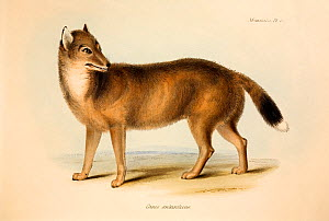 Illustration of the extinct Falkland Island Wolf or Fox (Dusicyon australis). Hand coloured lithograph, Plate IV, The Zoology of the Voyage of H.M.S. Beagle, edited and superintended by Charles Darwin...  -  Paul D Stewart
