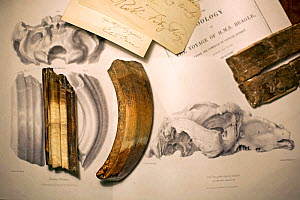 Toxodon platensis fossil teeth together with teeth featured in George Sharf's life-sized lithograph (plate IV) from 'The Zoology of the Voyage of HMS Beagle' under the supervision of Charles Darwin, P...  -  Paul D Stewart