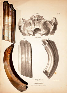 Toxodon platensis fossil teeth together with the illustrations featured in George Sharf's life-sized lithograph (pl. IV) from 'The Zoology of the Voyage of HMS Beagle' under the supervision of Charles...  -  Paul D Stewart