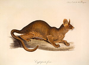 Illustration of Edward Lear's first fossa (Cryptoprocta ferox). Plate 14 from Volume 1 Trans Zool Soc London, 1835, 'Notice of a Mammiferous Animal from Madagascar, constituting a New Form among the V...  -  Paul D Stewart