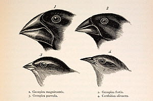Illustration from page 379, 'Journal of Researches' 2nd Edition 1845 Charles Darwin. The contrasting beaks of four Galapagos finches, three Geospizinae genus and one Certhidea (Warbler finch). Darwin...  -  Paul D Stewart