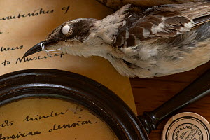 A Galapagos Mockingbird, from the collection of the Charles Darwin Research Station on Galapagos. While actually on the Beagle voyage, it was the mockinbirds, and not the celebrated finches gave Darwi...  -  Paul D Stewart