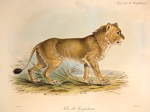 Illustration of Gir Indian Lion (Panthera leo). Plate 24 from Volume 1 Trans. Zool. Soc. London, 1835, 'Some Account of the maneless Lion of Guzerat' with contemporary hand colouring as issued. The pl...  -  Paul D Stewart