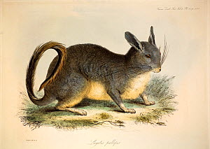 Illustration of Viscacha (Lagidium sp.). Plate 42 from Volume 1 Trans Zool Soc London, 1835, 'Additional remarks on the Genus Lagotis, with some account of a second species referrible to it' with cont...  -  Paul D Stewart