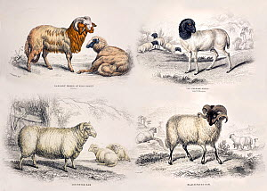 Illustration of four breeds of sheep (Ovis aries) from plates in Jardine's 'The Naturalist's Library' series, specifically 'The Natural History of the Ruminating Animals, Goats, Sheep, Wild and Domest...  -  Paul D Stewart