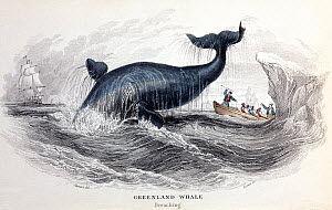 1837 illustration of Greenland / Bowhead Whale  (Balaena mysticetus) breaching, from Jardine's 'Naturalist's Library', Whales, Plate 23 Volume VI, from artwork of Stewart engraved by W. H. Lizars. Ori... - Paul D Stewart