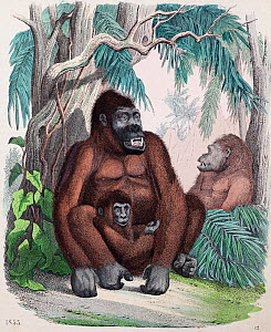 1853 illustration of Gorilla, contemporary coloured copperplate engraving from 'Das Buch der Welt' John Weik, Stuttgart. The lowland Gorilla was first accurately described outside Africa by the missio...  -  Paul D Stewart