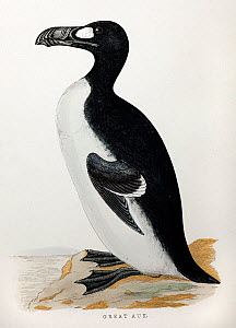 Great Auk (Pinguinus impennis) from the Rev. Francis Orpen Morris' 'A History of British Birds' by the printer Benjamin Fawcett circa 1853. Morris was instrumental in founding the Royal Society for th... - Paul D Stewart