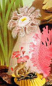 Anenome chromolithograph illustration by Philip Henry Gosse, from Gosse's 'The Aquarium, an unveiling of the wonders of the deep sea' London Van Voorst 1854. Gosse coined the term 'Aquarium' and was a...  -  Paul D Stewart