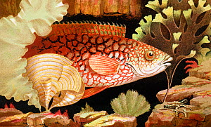 'Ancient Wrasse' chromolithograph illustration by Philip Henry Gosse, from Gosse's 'The Aquarium, an unveiling of the wonders of the deep sea' London Van Voorst 1854. Gosse coined the term 'Aquarium'...  -  Paul D Stewart