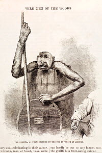 The 'leisure Hour' January 1859, a pickled gorilla propped up with stick from the barrel in which it was preserved. It is a specimen from Paul Du Chaillu intended (as the label on the barrel lid state...  -  Paul D Stewart