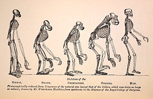 Illustartion of series of primate skeletons, the frontis engraving by Waterhouse Hawkins from the first edition of Huxley's 1863 'Evidences as to Man's Place in Nature'. In this book Huxley presented...  -  Paul D Stewart