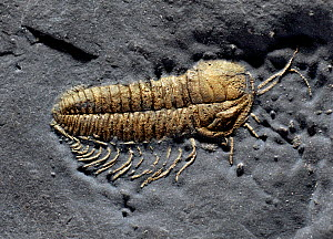 Fossil Trilobite (Triarthus eatoni) showing rare pyrites preservation of the limbs and antennae. From the late Ordovician 'Beecher's Bed' of Oneida County, New York, USA. The site is named after Charl...  -  Paul D Stewart