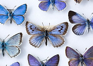 Male Large Blue Butterfly (Maculinea eutryphon / arion) collected in 1865. It is here surrounded by other extant UK blue butterfly species. The large Blue was first recorded as a British species in 17...  -  Paul D Stewart