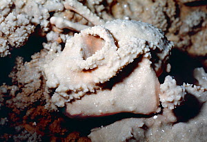 Skull of extinct lemur (Mesopropithecus dolichobrachion) with calcite surface crystalisation, discovered by the photographer in the Ankarana Caves of Northern Madagascar. Pictured on site in 1987, the...  -  Paul D Stewart