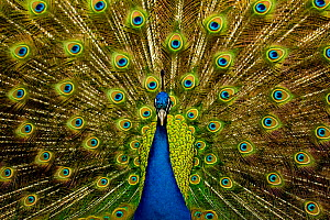 Male peacock (Pavo cristatus) displaying his ocellated tail feathers. - Paul D Stewart