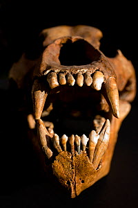 Skull of Cave Bear (Ursus uralensis), an extinct species of bear found in western Russia's Ural mountians and region. It is one of a complex of large extinct 'speleoid' or 'cave bear like' species tha...  -  Paul D Stewart