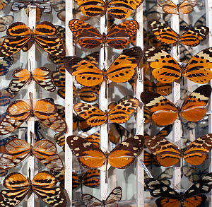 Tiger complex mimics, (Heliconids), an old collection of butterflies in the famous 'tiger complex'. This is a group of around 200 species of mostly toxic South American species which share a similar p...  -  Paul D Stewart