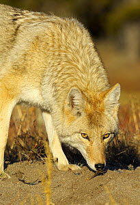 Coyote (Canis latrans) sniffing the ground, looking up, Yellowstone NP, Wyoming, USA, October - George Sanker