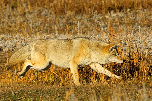 Coyote (Canis latrans) running, Yellowstone NP, Wyoming, USA, October - George Sanker