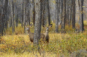 Mule deer (Odocoileus hemionus) two does in woodland, Grand Teton NP, Wyoming, USA, October - George Sanker