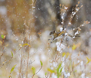Least Chipmunk (Tamius minimus) feeding on the seeds of a thistle bush during a snowstorm, Grand Teton NP, Wyoming, USA, October  -  George Sanker
