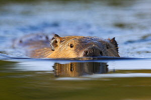 American beaver (Castor canadensis) swimming, Grand Teton NP, Wyoming, USA, October - George Sanker
