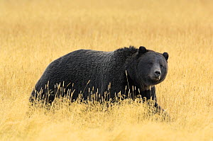 Grizzly bear (Ursus arctos horribilis) walking through long grass, Yellowstone NP, Wyoming, USA, October  -  George Sanker