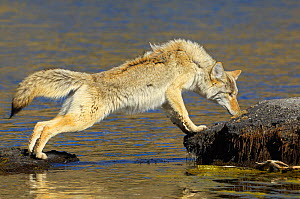 Coyote (Canis latrans) standing on rocks at water's edge, sniffing, Yellowstone NP, Wyoming, USA, October - George Sanker