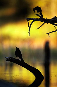 Silhouette of Common grackle (Quiscalus quiscala) at water, USA - George Sanker