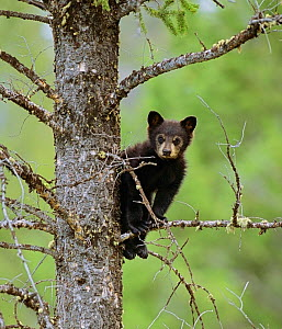 Black Bear (Ursus americanus) cub balancing on branch in tree, Yellowstone NP, Wyoming, USA  -  George Sanker