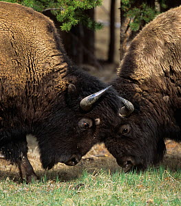 Bison (Bison bison) two males head to head, Yellowstone NP, Wyoming, USA - George Sanker